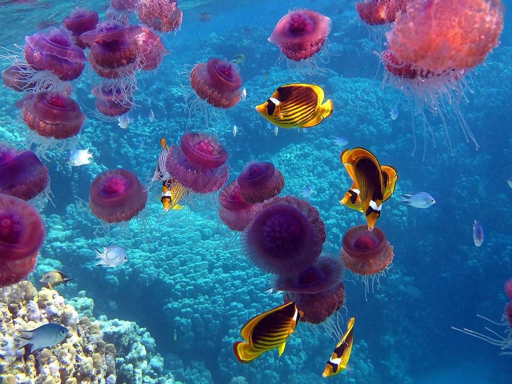 amazing-pink-jellyfish