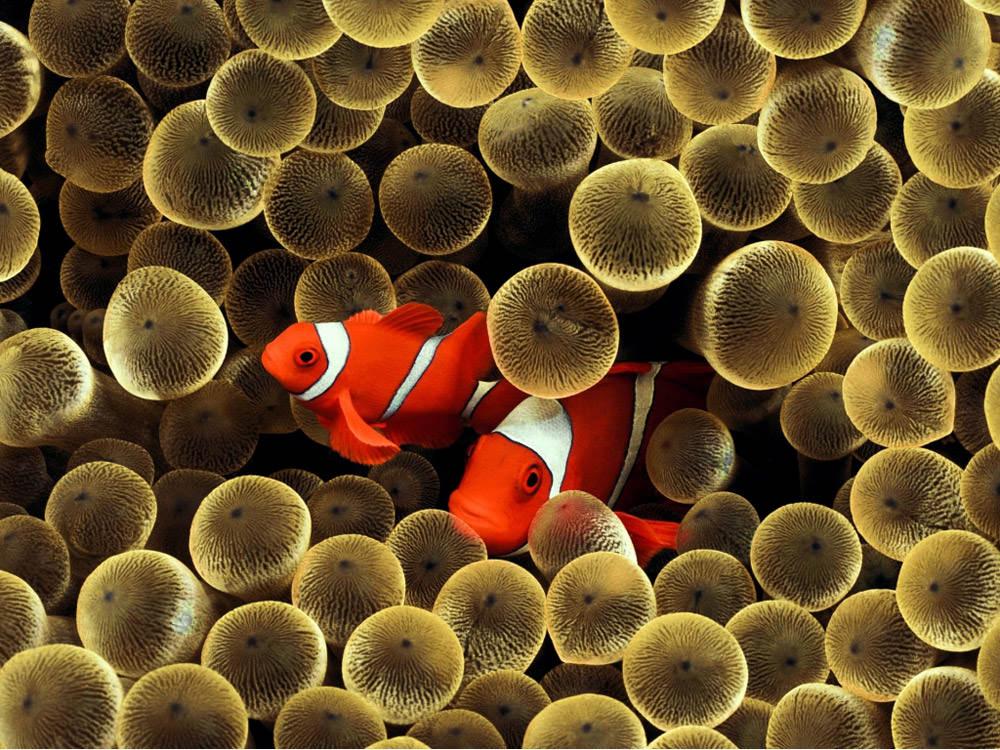golden-crown-fish