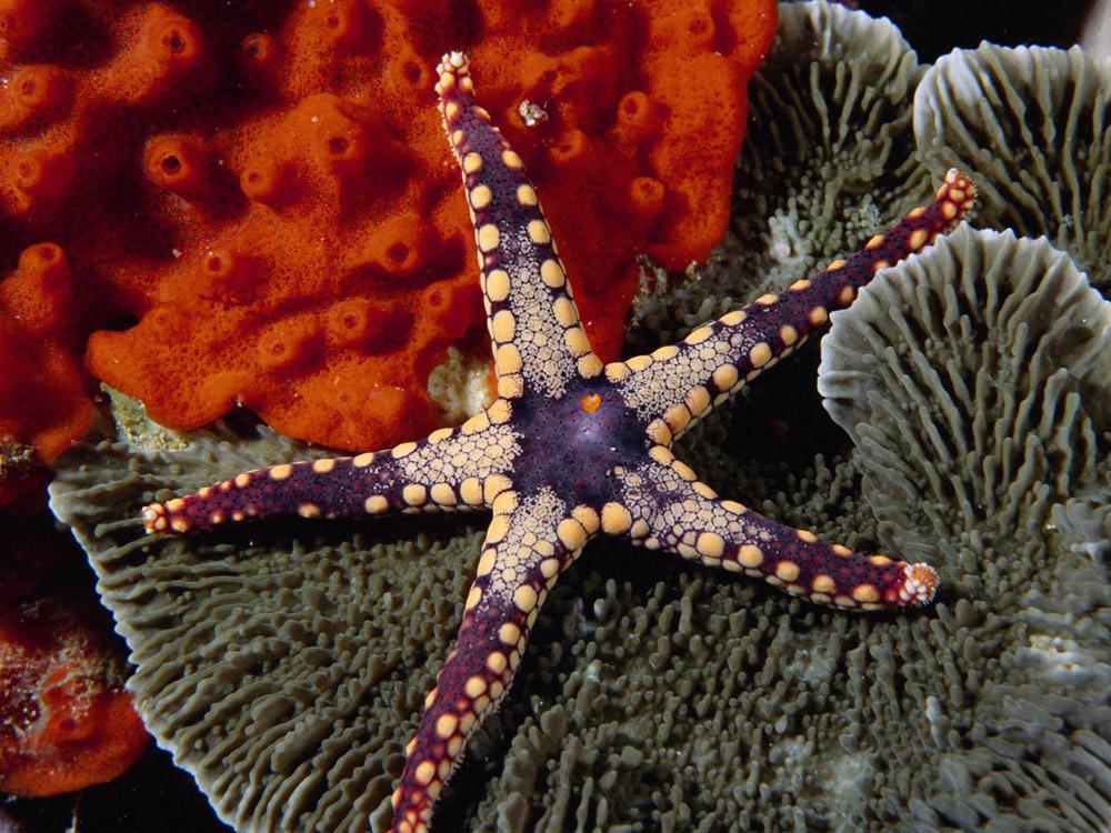 purple-starfish